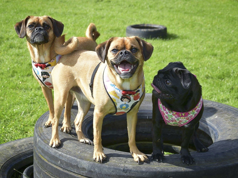 Ruby, Sapphire & Pearl's Social Pug Profile | www.thepugdiary.com