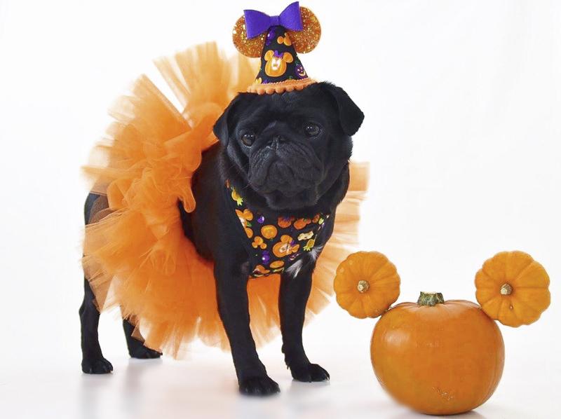 Ruby, Sapphire & Pearl's Social Pug Profile   www.thepugdiary.com