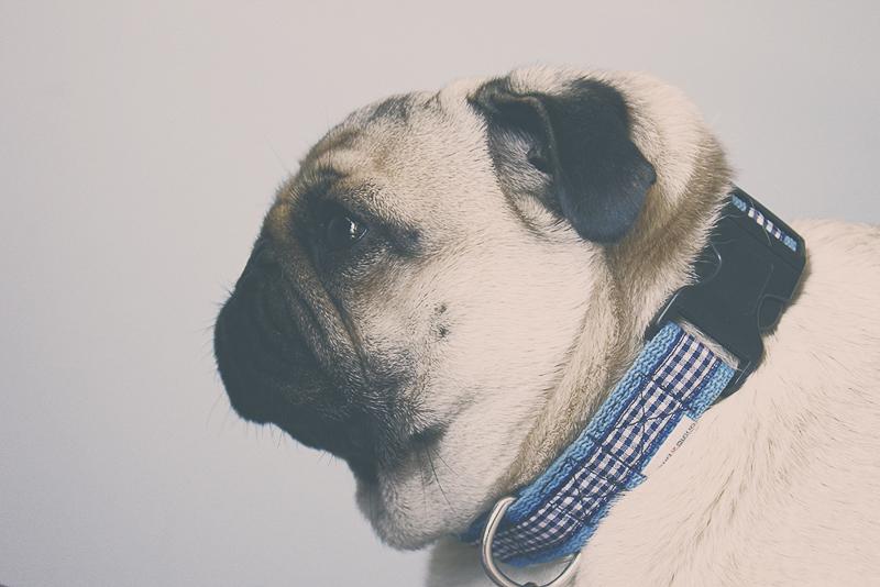 Rufio's Social Pug Profile | www.thepugdiary.com