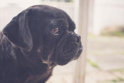 Welcome Serina to The Pug Diary Team | www.thepugdiary.com
