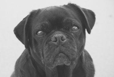Serina's Social Pug Profile | www.thepugdiary.com