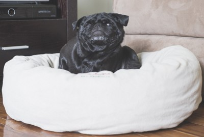 Signs Your Pug May Have an Allergy | www.thepugdiary.com