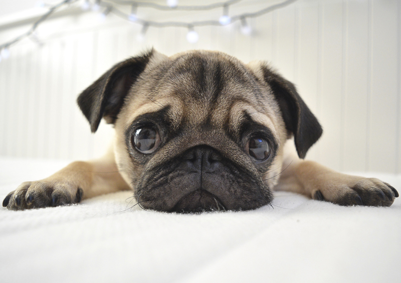 Sir Sidney's Social Pug Profile | www.thepugdiary.com