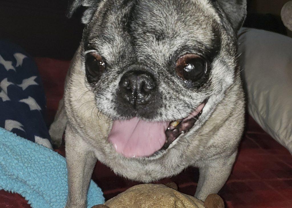 Chewy's Social Pug Profile | www.thepugdiary.com