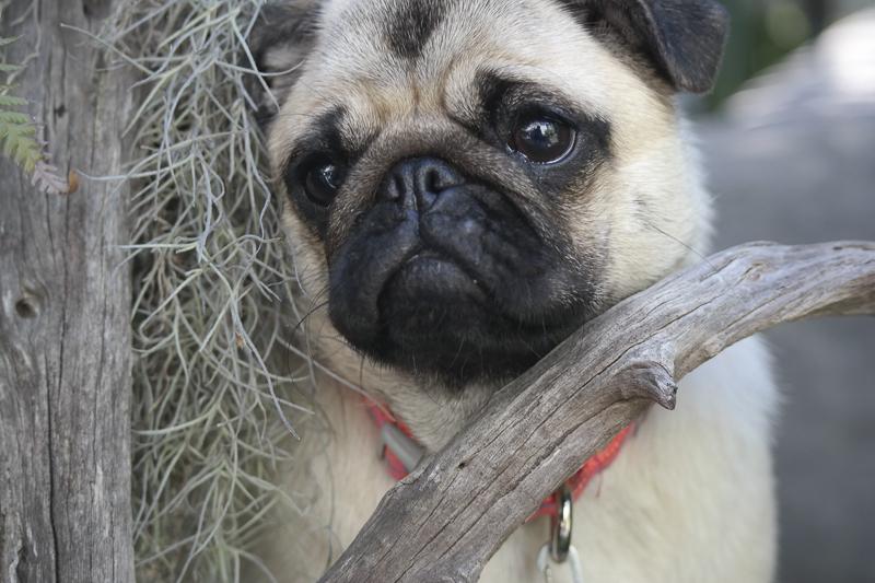 Luna's Social Pug Profile | www.thepugdiary.com