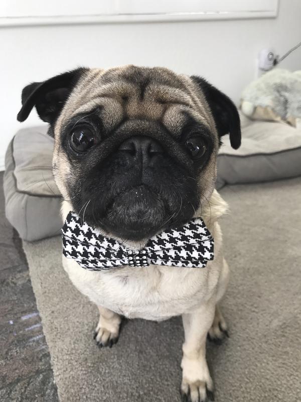 Rupert's Social Pug Profile | www.thepugdiary.com