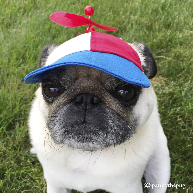 Spanky's Social Pug Profile | www.thepugdiary.com