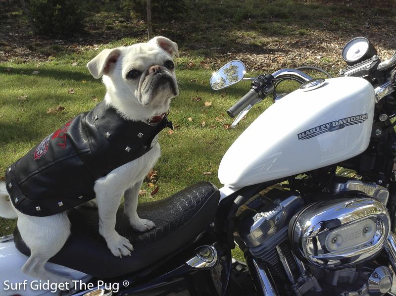 Surf Gidget's Social Pug Profile | www.thepugdiary.com