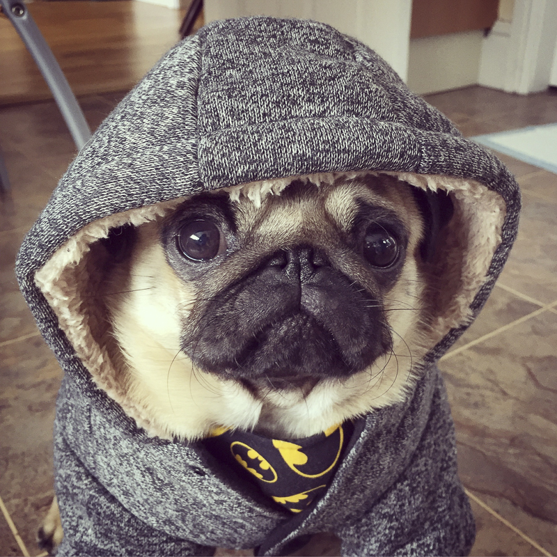The Batman Pug's Social Pug Profile | www.thepugdiary.com