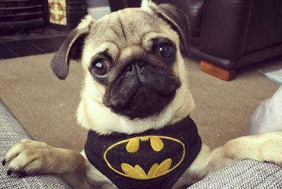 The Batman Pug's Social Pug Profile | www.thepugdiary.com