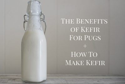 The Benefits of Kefir for Pugs + How to Make Kefir | www.thepugdiary.com