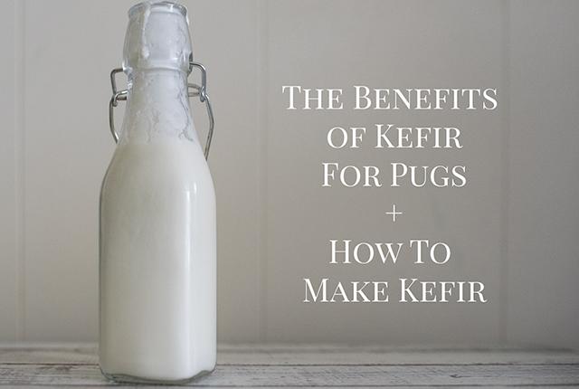 The Benefits of Kefir for Pugs + How to Make Kefir | www.thepugdiary.com