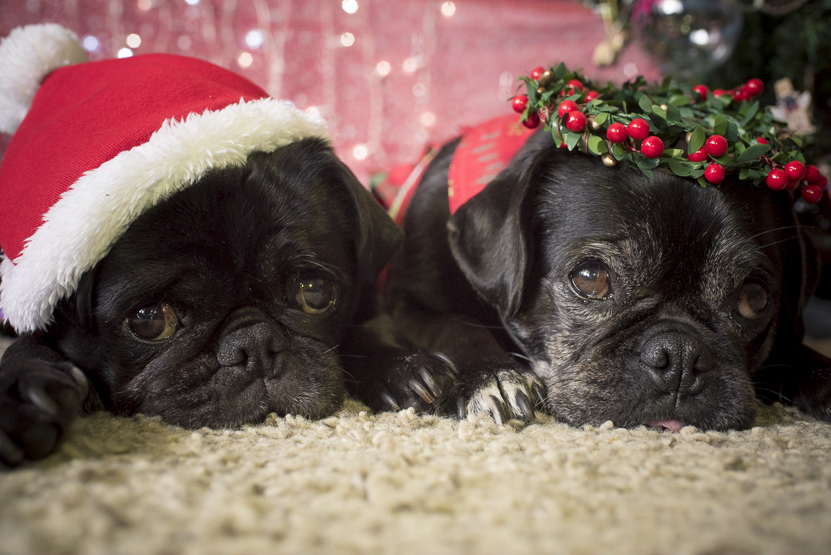 The Best of Christmas | www.thepugdiary.com