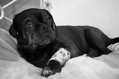 The Downside of Adopting a Rescue Pug | www.thepugdiary.com