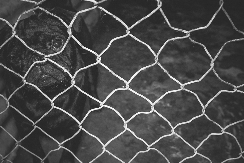 The Fight Against Puppy Farming | www.thepugdiary.com