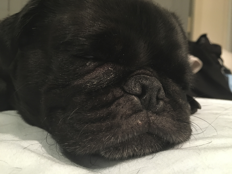 The Importance of Cleaning Your Pug's Wrinkles | www.thepugdiary.com