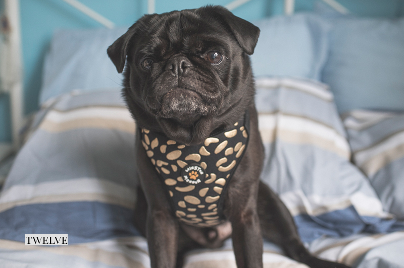 2016 Holiday Gift Guide: For The Pampered Pug | www.thepugdiary.com