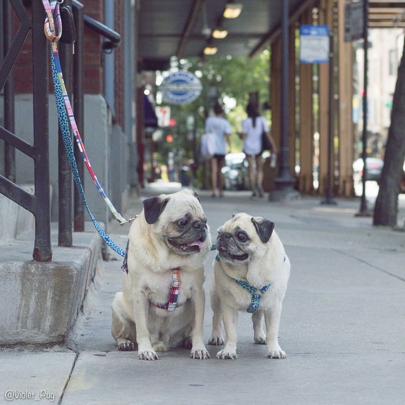 Timmy's Social Pug Profile | www.thepugdiary.com