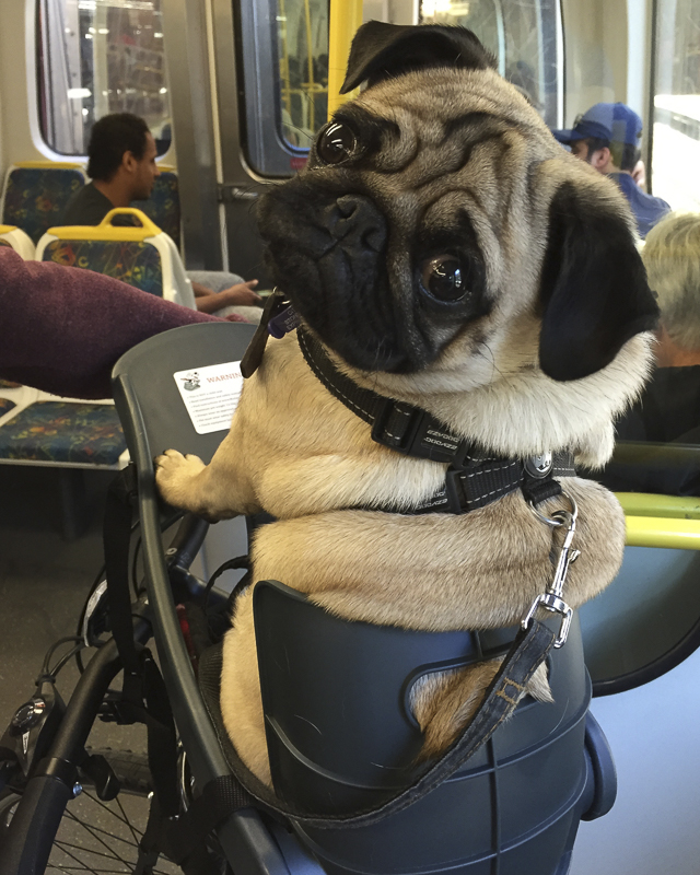 Top 10 Dog Friendly Places to Visit: Melbourne, Australia | www.thepugdiary.com