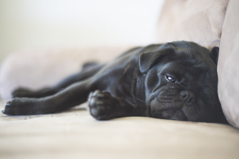 Top 10 things to Love about Pugs Part One | www.thepugdiary.com