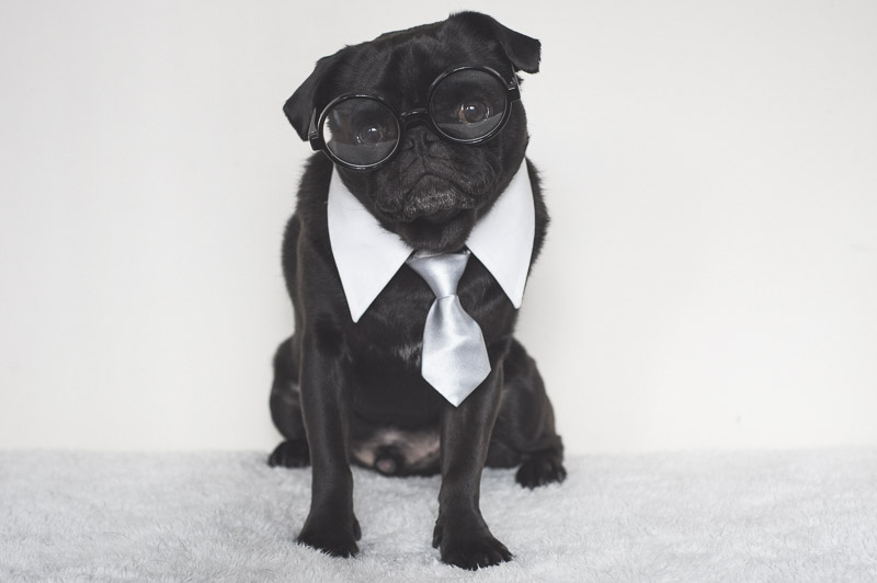 Top 10 Things to Love about Pugs Part Two | www.thepugdiary.com