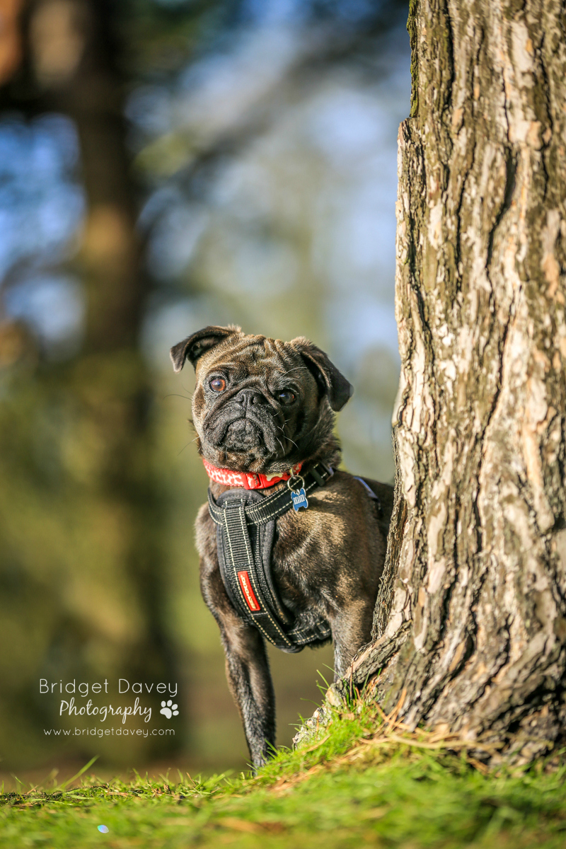 Troy's Pug Photography Session by Bridget Davey Photography | www.thepugdiary.com