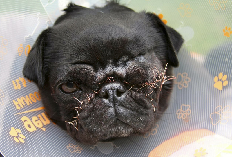 Truth About Pug Puppies and Backyard Breeding | www.thepugdiary.com