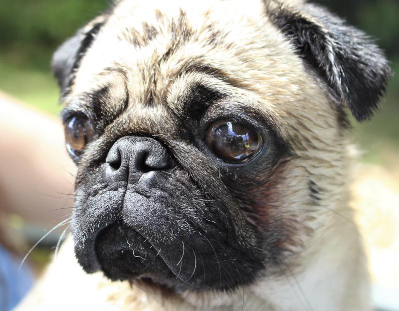 Vinny Pugalicious Social Pug Profile | www.thepugdiary.com