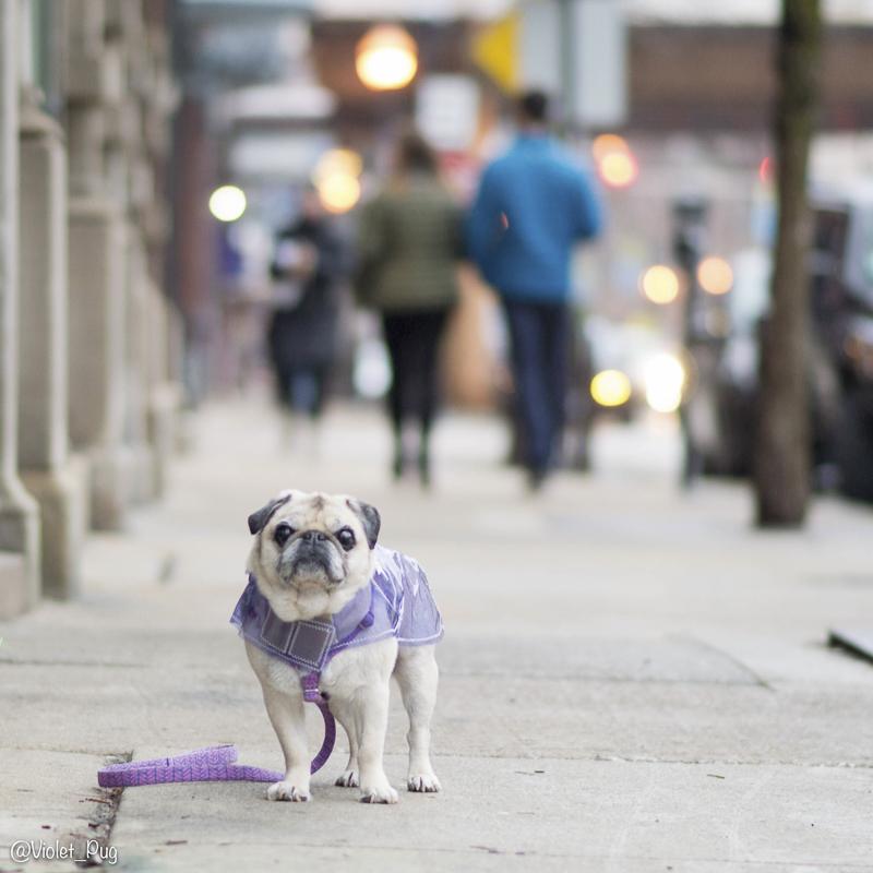 Violet's Social Pug Profile | www.thepugdiary.com