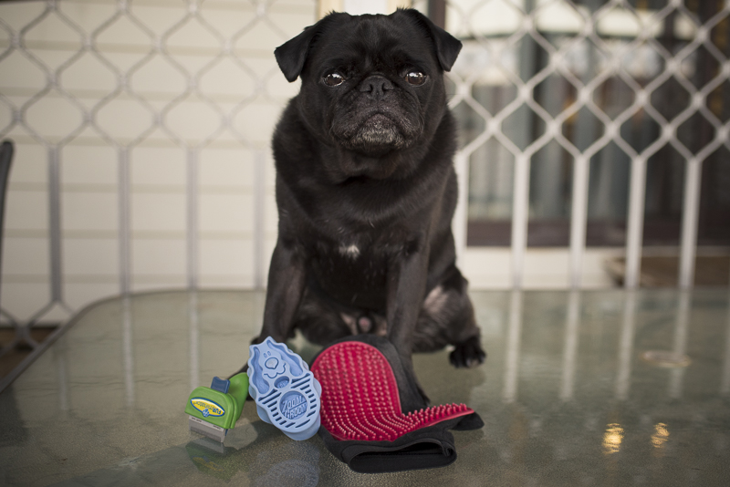 Why You Should Brush Your Pug Every Day | www.thepugdiary.com