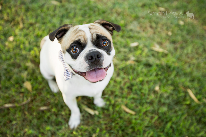 Winston the Frug by Sarah Lewis Photography | www.thepugdiary.com