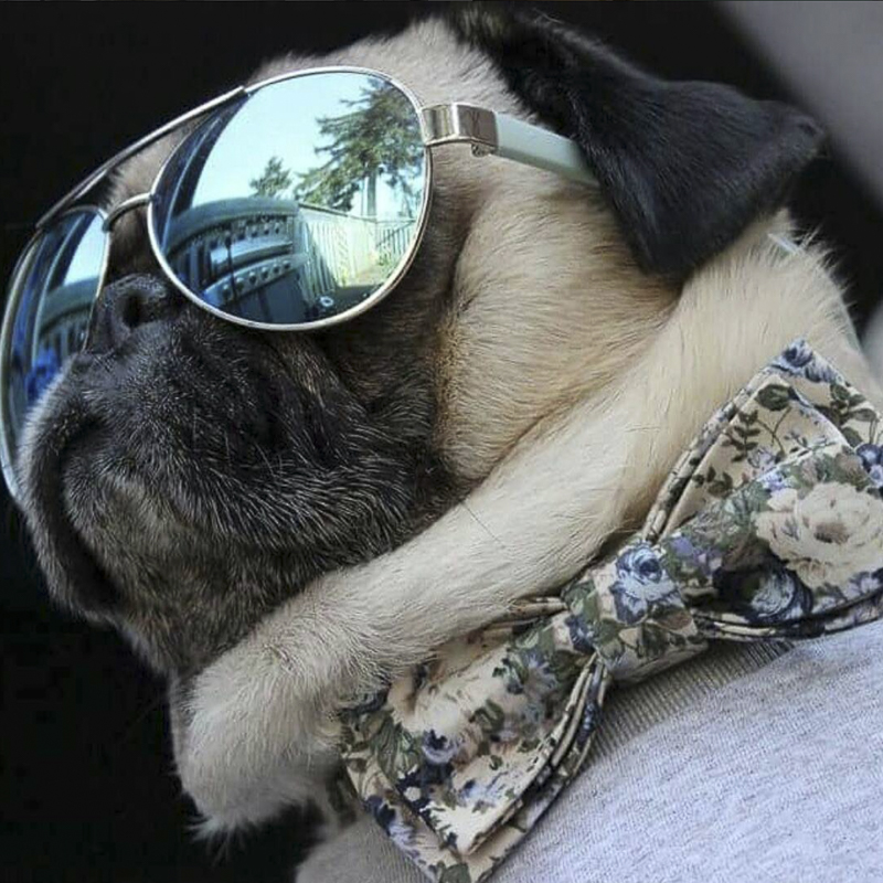 The Top 20 Pugs of Instagram 2015 | www.thepugdiary.com