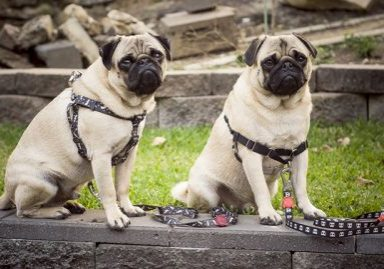 3 Reasons Why Your Pug Should Wear a Harness | www.thepugdiary.com