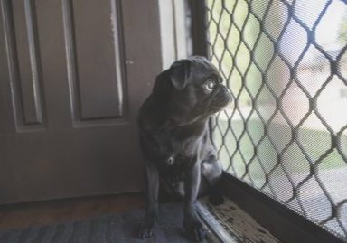 A pug is not for you if.... | www.thepugdiary.com
