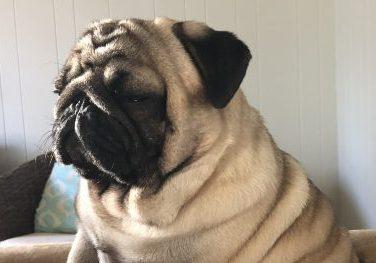 Beans Social Pug Profile | www.thepugdiary.com