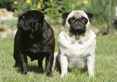 Facts-about-pugs-feature