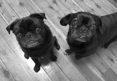Fasting Pugs: Can it be Done? | www.thepugdiary.com