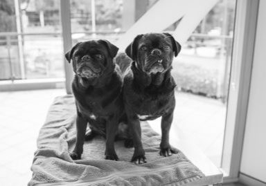 How to Care for Your Senior Pug | www.thepugdiary.com