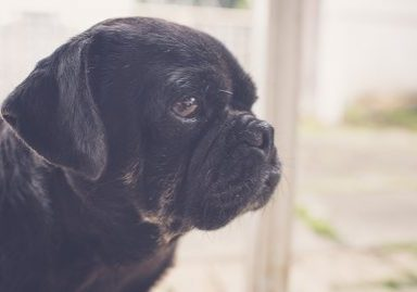 Welcome Serina to The Pug Diary Team | www.thepugdiary.com