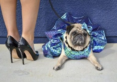 The Stylish Bisou's Social Pug Profile | www.thepugdiary.com
