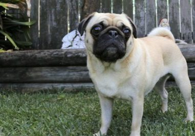 Why Your Pug's Weight Matters | www.thepugdiary.com