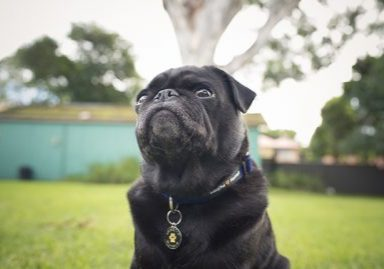 WIN 1 of 5 Winston Manner Collar & Leash Sets | www.thepugdiary.com