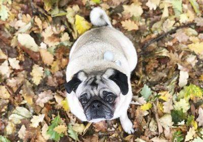 Yali's Social Pug Profile | www.thepugdiary.com