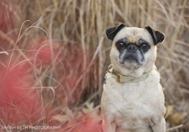Zeus's Joy Session by Sarah Beth Photography | www.thepugdiary.com