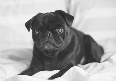 An Open Letter to My Pug | www.thepugdiary.com
