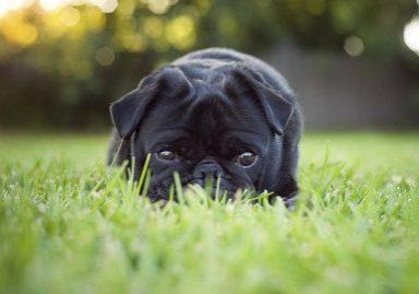 Pug Training 101: Teaching your Pug to Drop | www.thepugdiary.com