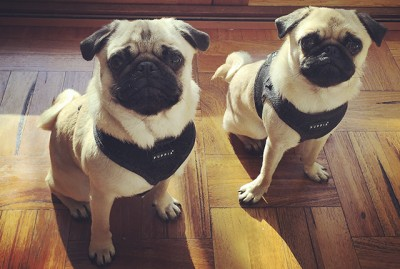 Biscuit & Pikelet | www.thepugdiary.com