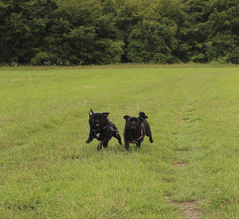 Charly & Lola's Social Pug Profile | www.thepugdiary.com