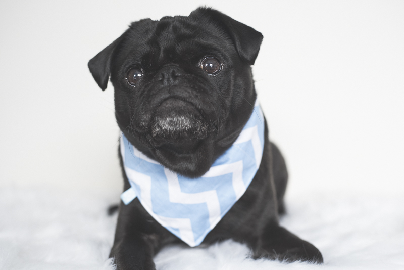 How to Keep Your Pug Cool this Summer | www.thepugdiary.com
